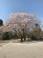 桜舞い散る(◞‸◟)